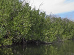 Mangroves at Halfway Creek in Everglades National Park