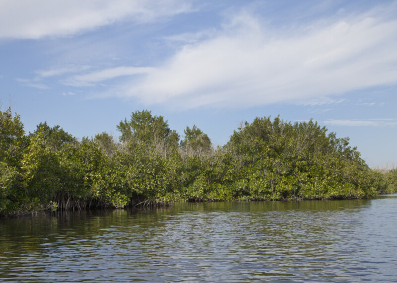 Mangroves at Halfway Creek
