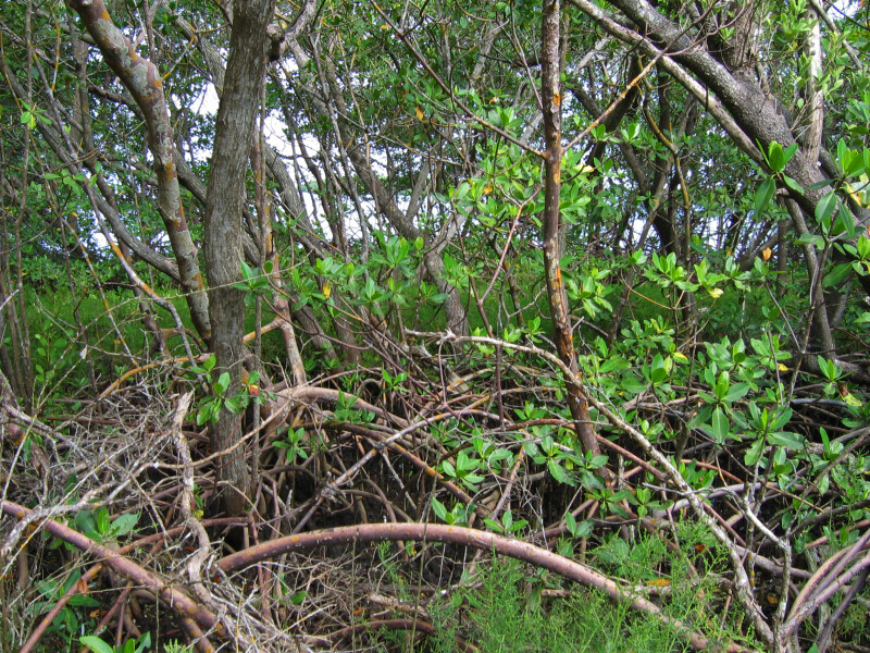 Mangroves at Mound Key