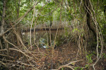 Mangroves at Snake Bight Trail