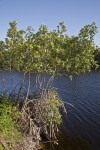 Mangroves at the Big Cypress National Preserve