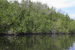 Mangroves Growing Along Halfway Creek in Everglades National Park