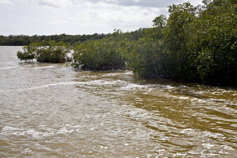 Mangroves Growing in Muddy Saltwater at West Lake of Everglades National Park