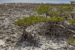 Mangroves Growing in Sand