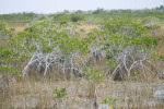 Mangroves Growing in Sawgrass