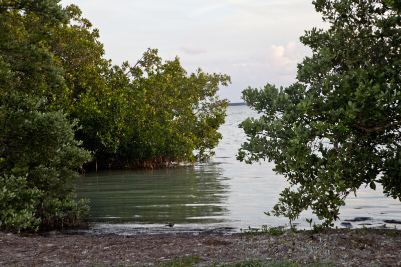 Mangroves Growing in Water and On the Shore