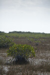 Mangroves in Shallow Water