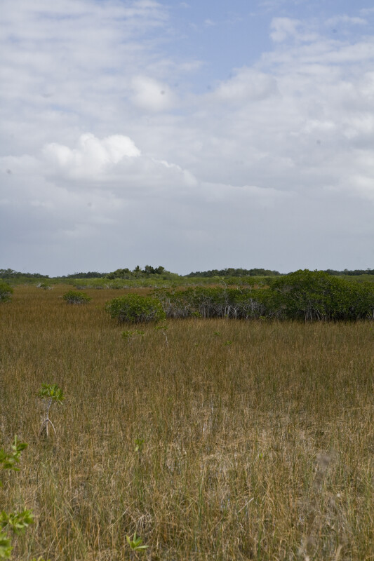 Mangroves in the Sawgrass