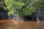 Mangroves in the Water