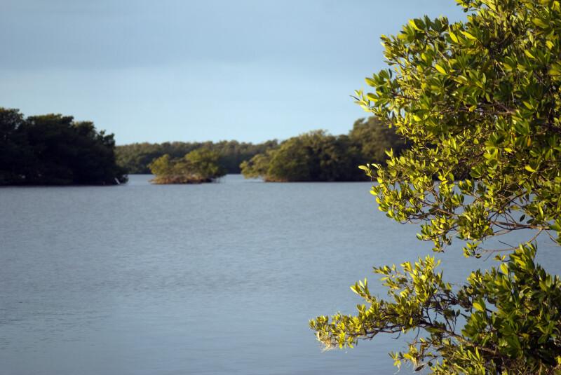 Mangroves on Shore