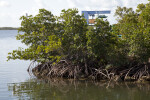 Mangroves with Prominent Roots