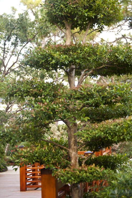 Manicured Tree at the Morikami Japanese Garden