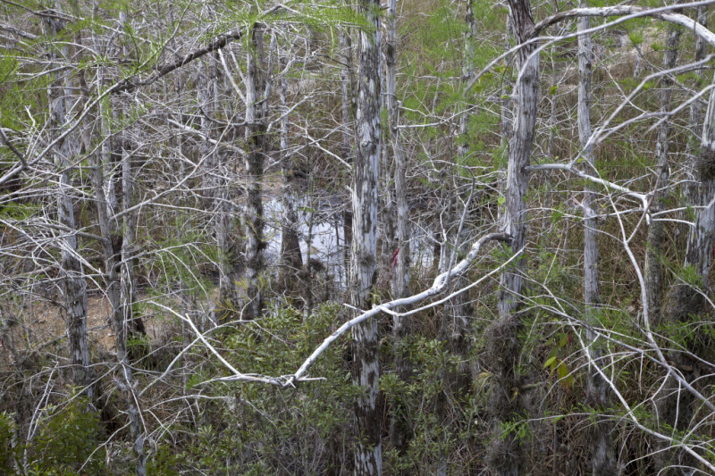 Many Bare Bald Cypress Branches