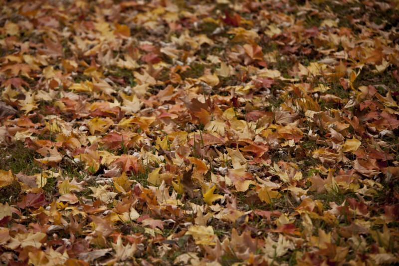 Many Fallen Leaves