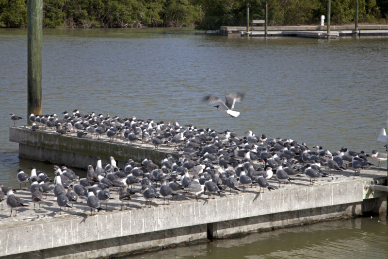 Many Laughing Gulls at the Flamingo Marina of Everglades National Park