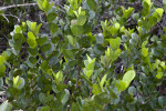 Many Leaves of a Mangrove Tree