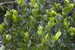 Many Leaves of a Mangrove Tree