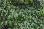 Many Leaves of a Wild Coffee Plant