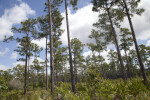 Many Pine Trees Growing In-Between Shrubs at Long Pine Key of Everglades National Park