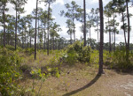Many Pines and Shrubs at Long Pine Key of Everglades National Park
