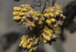 Many Walkingstick Cholla Fruit