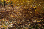 Many Yellow Maple Leaves on the Ground at Evergreen Park