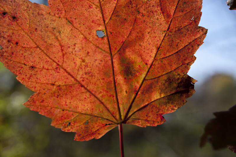 Maple Leaf with a Hole in it