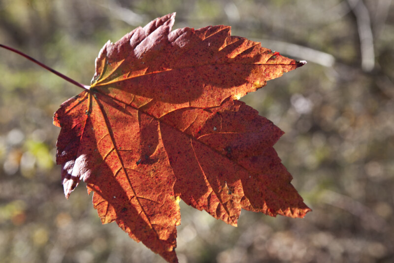 Maple Leaf with Deep Veins