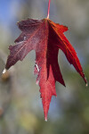 Maple Leaf with Red and Purple Colors