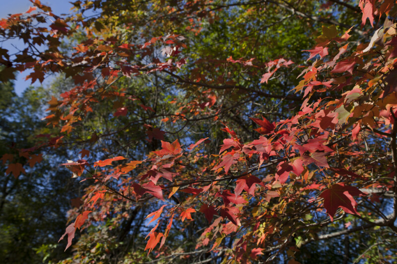 Maple Leaves at Boyce Park
