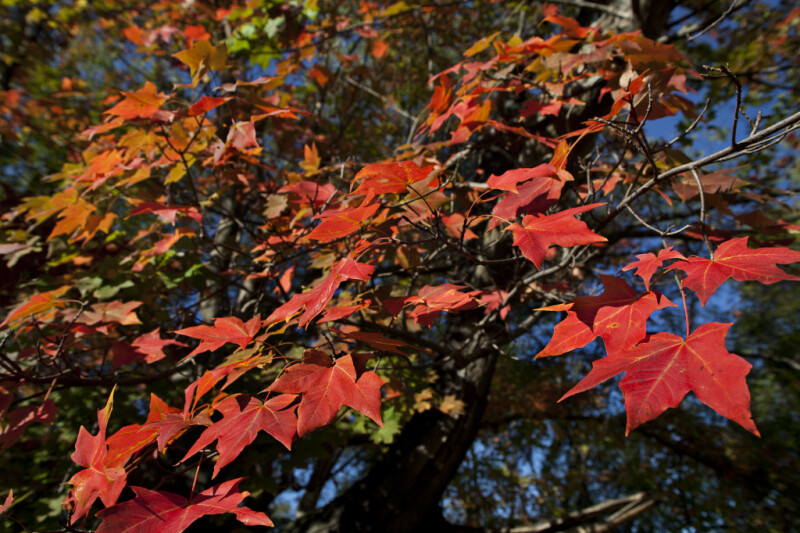 Maple Leaves During Fall at Boyce Park
