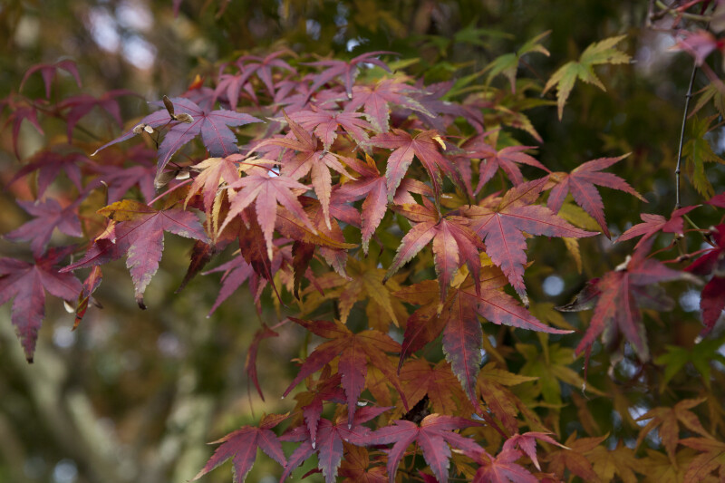 Maple Leaves During Fall