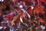Maple Leaves in Monroeville, PA