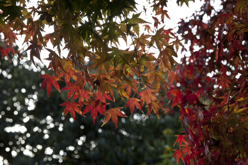 Maple Leaves of Various Colors