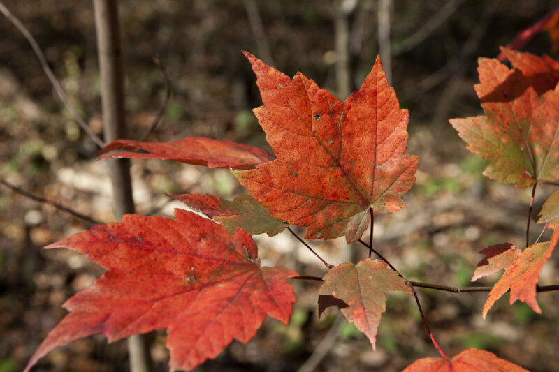 Maple Leaves of Various Sizes on Same Tree