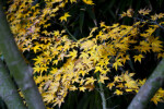 Maple Leaves - Yellow