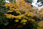 Maple Tree Amongst Other Trees