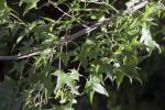 Maple Tree Leaves Detail