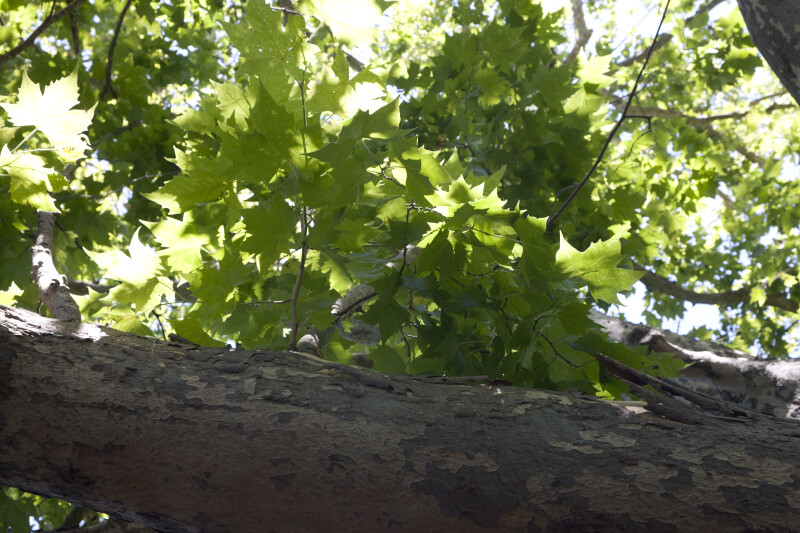 Maple Tree with Large Branch and Green Leaves