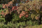 Maple Tree with Leaves of Various Colors
