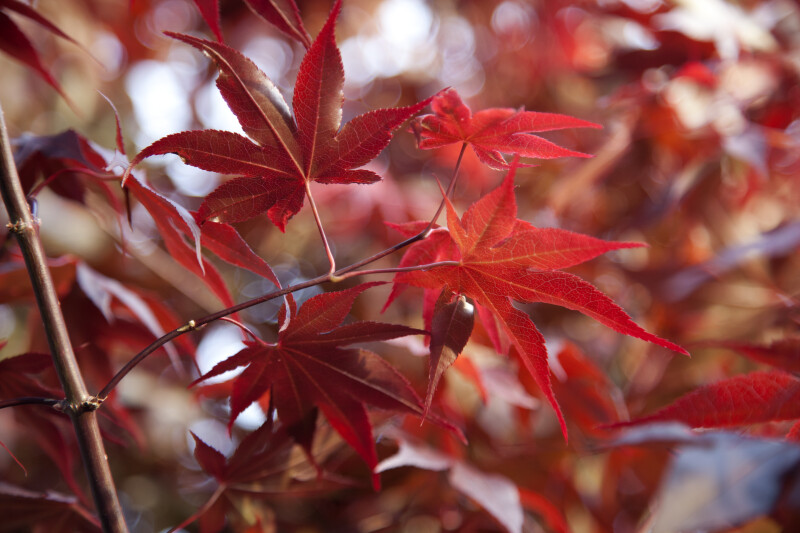 Maple Tree with Red Leaves and Dark Branches