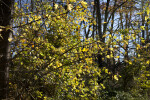 Maple Tree with Yellow and Green Leaves at Evergreen Park