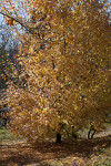 Maple Tree with Yellow Leaves at Evergreen Park