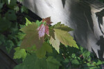 Maple Tree with Young Reddish Leaves