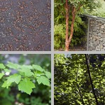 Maple Tree photographs