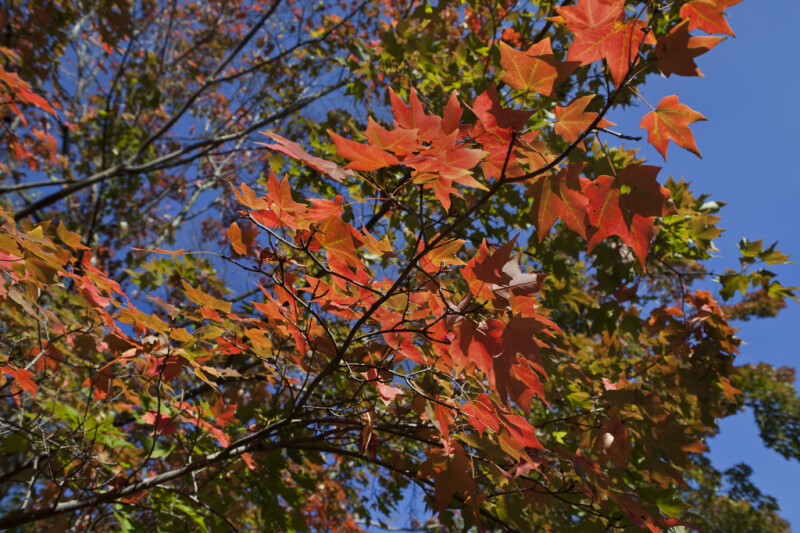 Maple with Red-Orange Leaves in the Sunlight