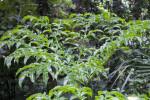 Marbled Snake Arum Plant