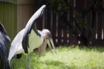 Maribou Stork Sunning