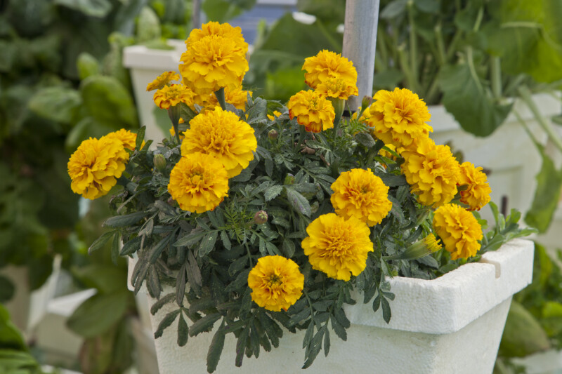Marigold with Yellow Flowers