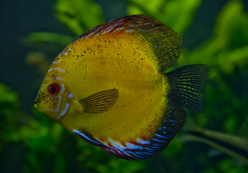 Discus Fish with Mostly Yellow Coloring